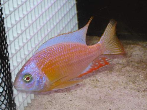 Protomelas tawain reef albino