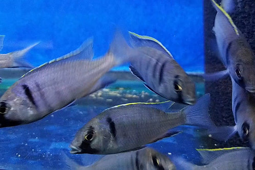 Placidochromis electra deep water