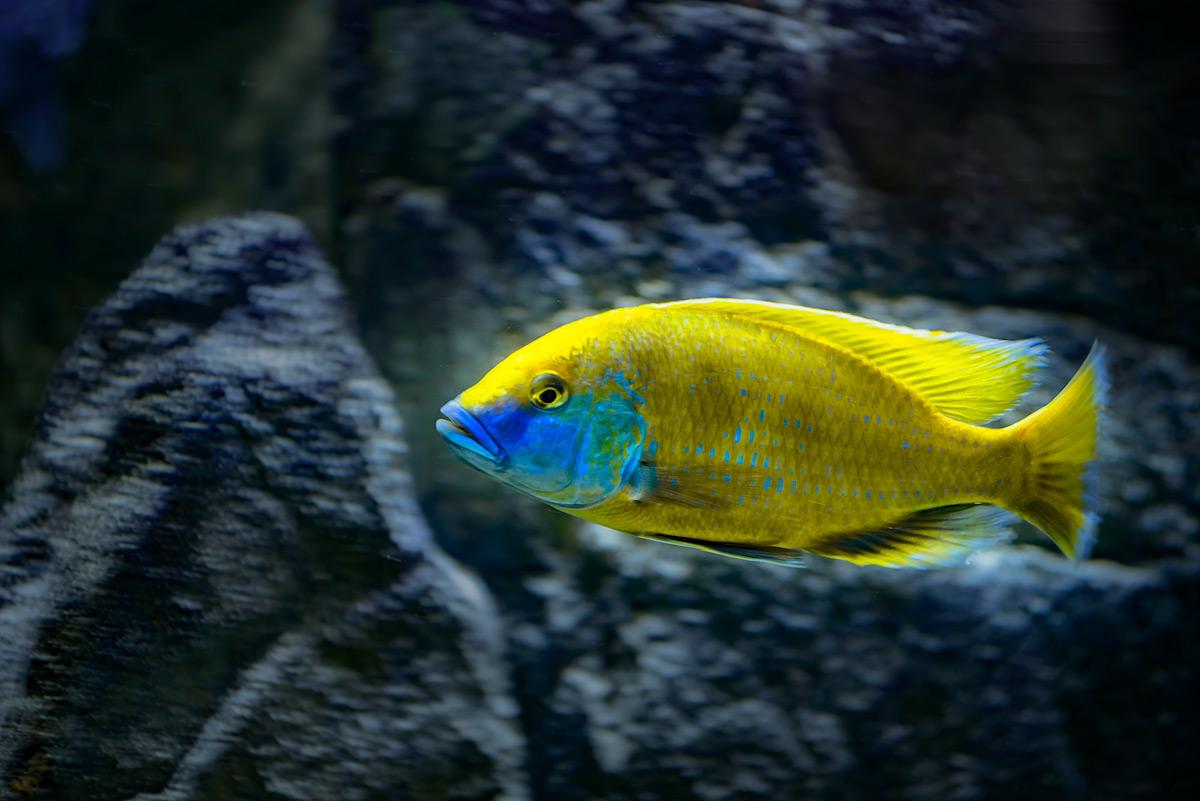 Nimbochromis-venustus-2-copy