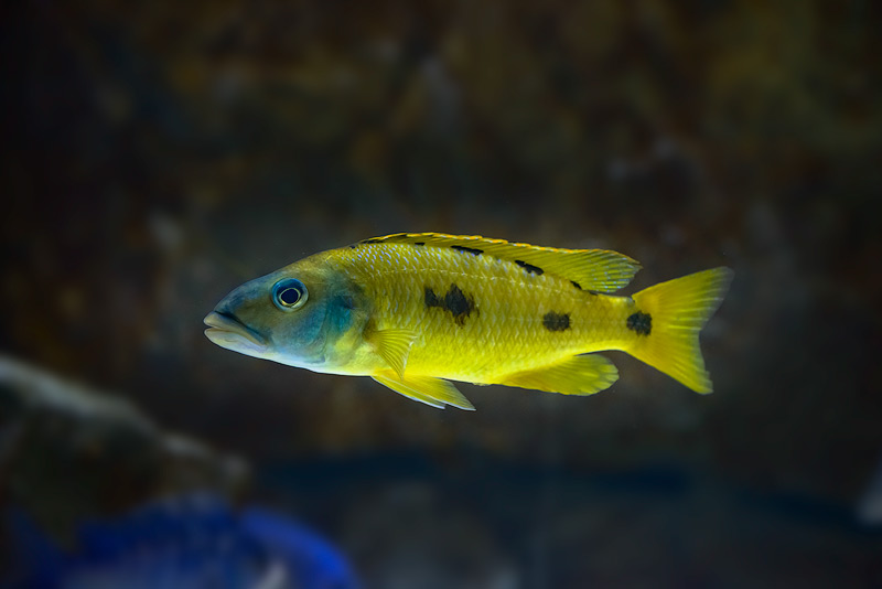 Exochochromis-anagenys-yellow-copy