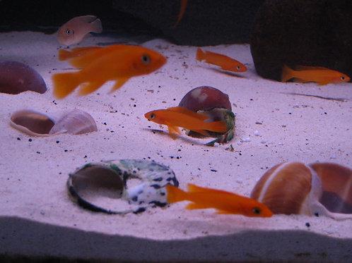 Neolamprologus lelupi orange