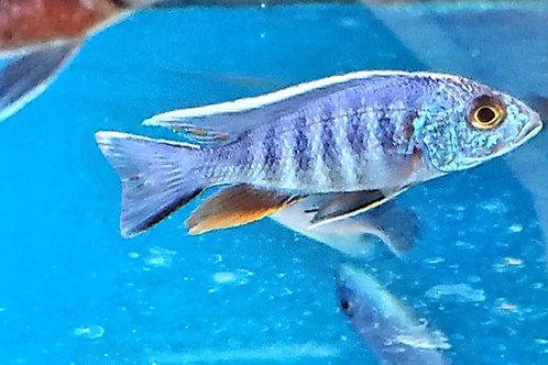 Sciaenochromis fryeri redfin