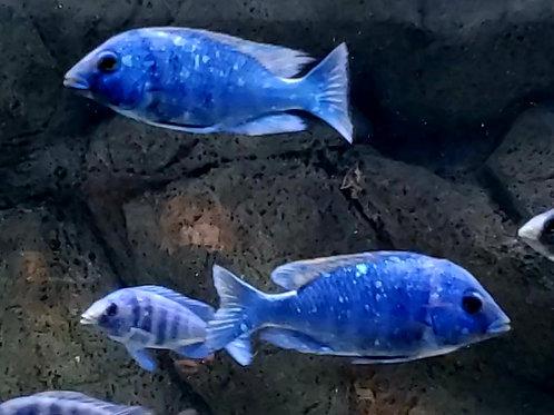 "Placidochromis phenochilus Tanzania "" Star Sapphire"""