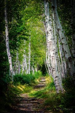 Birch-Path1.jpg