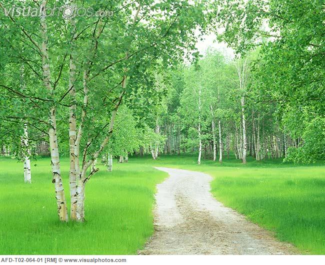 White_birch_trees_and_path_AFD-T02-064-01.jpg