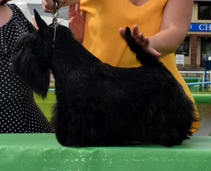 Divadells Do It In Style At The Welsh Kennel Club