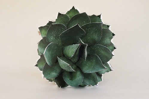 Succulent Pillow : Agave Shawii