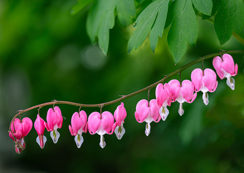 Dicentra by Brian C