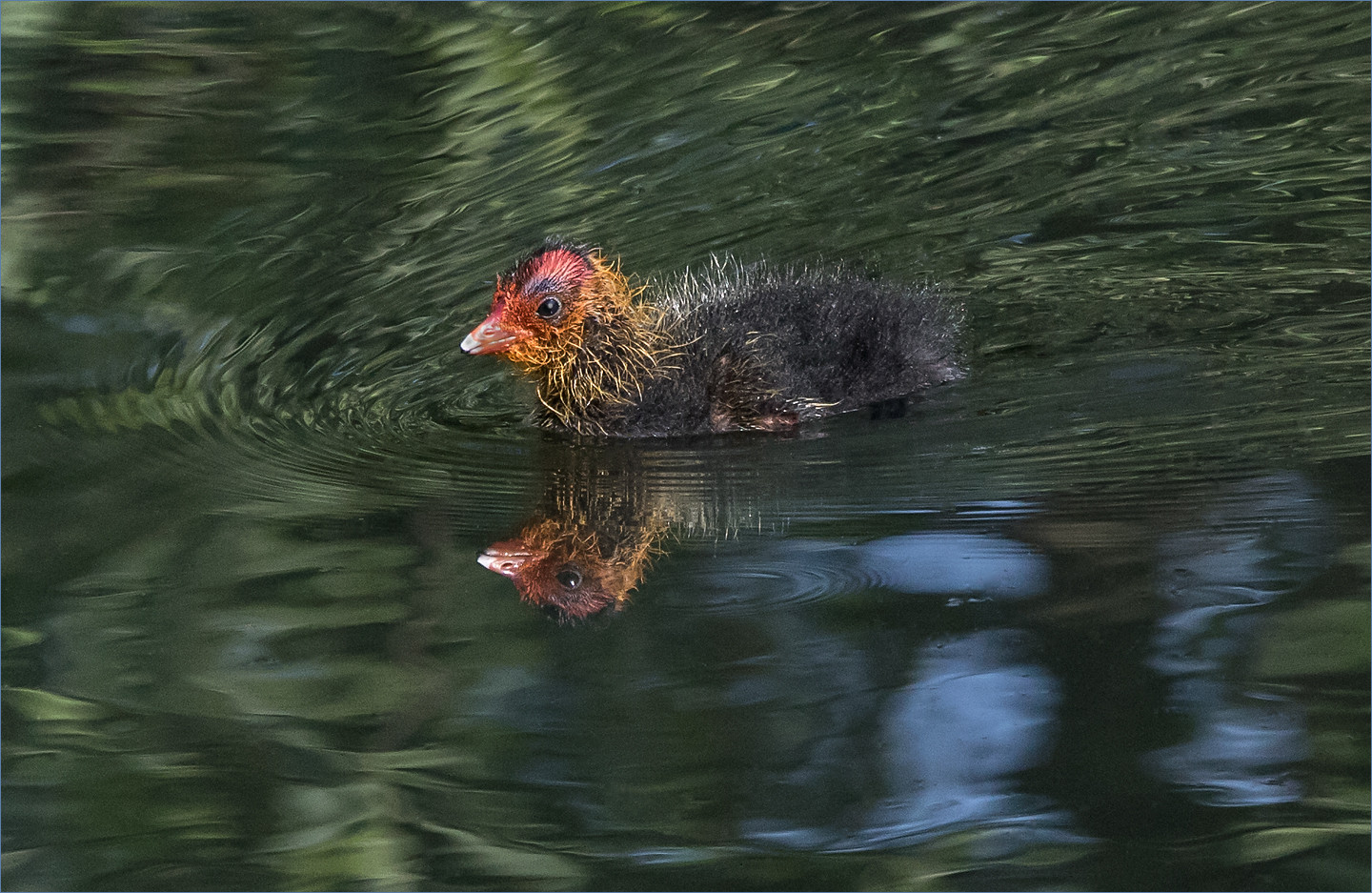 Coot Chick by Mandy B