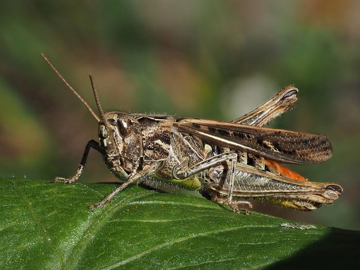 Common-Field-Grasshopper