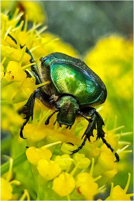 A Hairy Green Beetle by Alan M