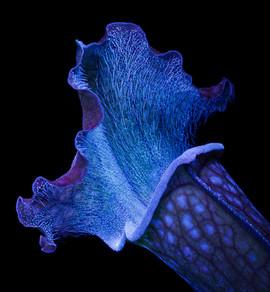 Sarracenia UV fluorescence by David P