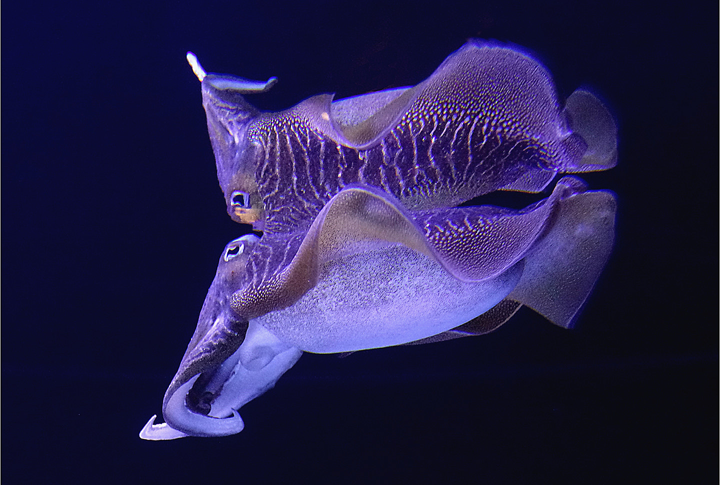Cuttlefish by Dave S