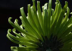 Green spider Chrysanthemum by Anita G