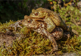 Common Toads Breeding Embrace