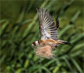 Goldfinch collecting nesting material by Mandy B