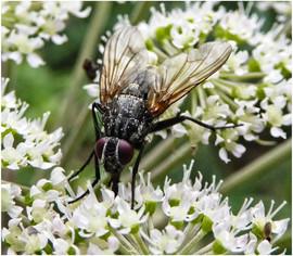 Flower Fly Feast by Alan M