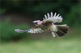 Flight of the Jay by Mandy B