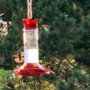 Fueling Up – Lessons from Hummingbirds
