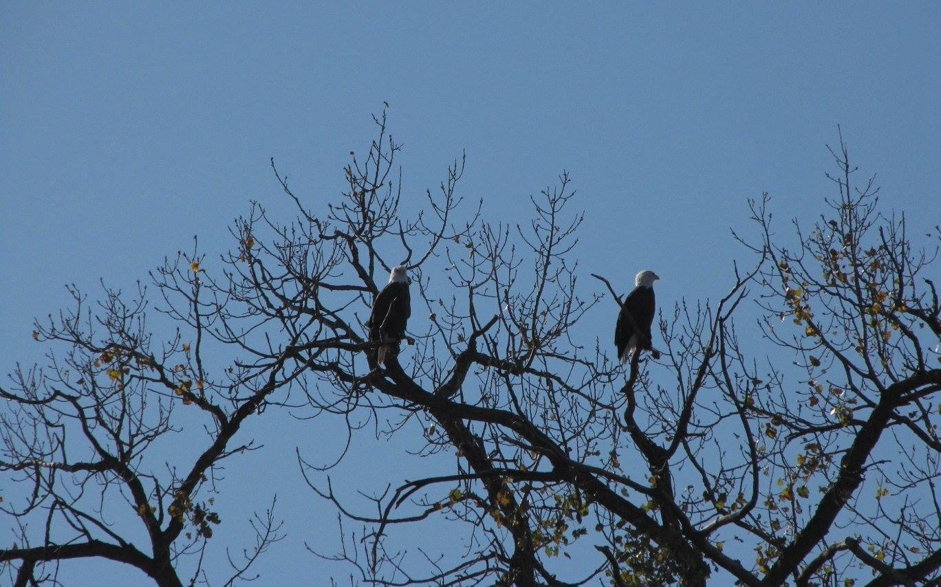 Spotted many eagles