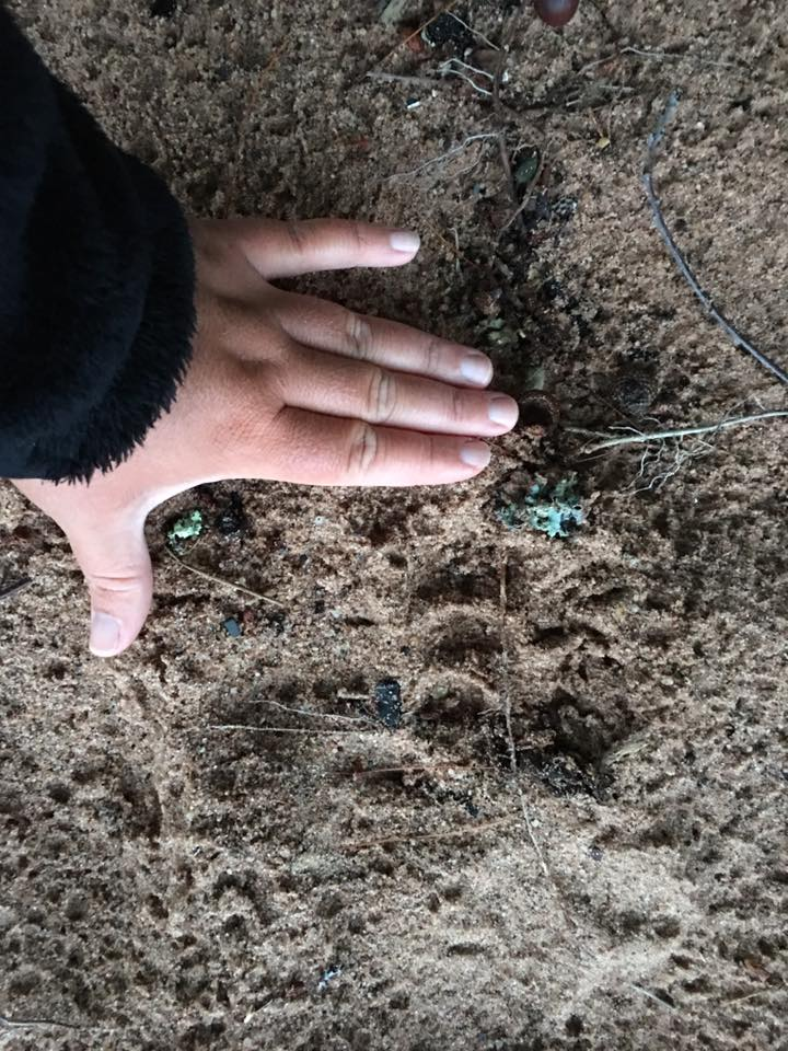 Black bear footprint