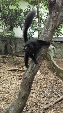 Maki Macaco Mâle