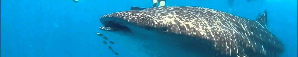 Whale safari or whale shark