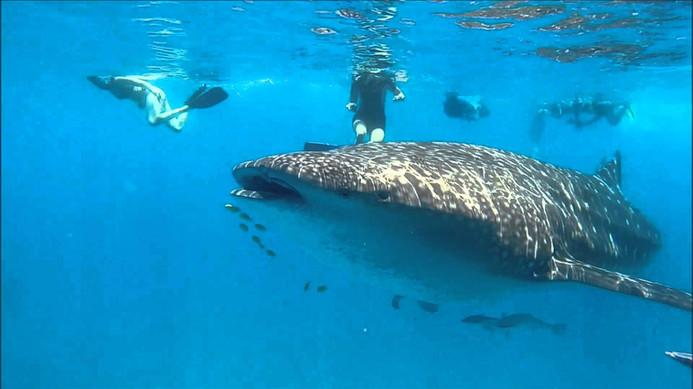 Groupe de nageurs et requin baleine