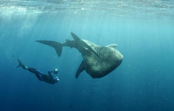Baleine et nageur