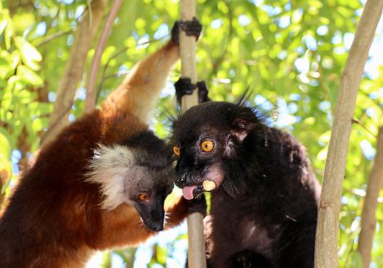 Couple de Maki Macaco