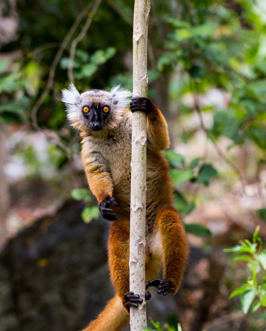 Maki Macaco female