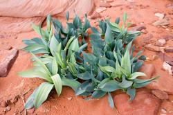 Wadi_Rum_Desert_Plant