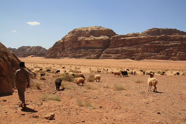 Goats andsheeps wadi rum