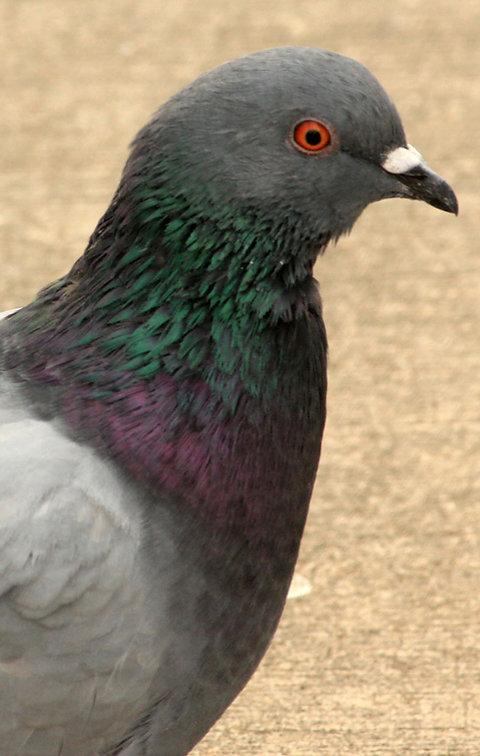 Common Pigeon/Rock Dove