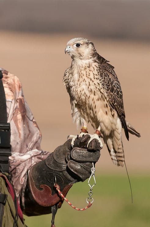 Falcon tight on fist