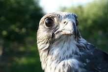 Viper Gyr Peregrine hybrid falcon