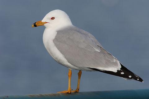 Ring Billed Gull (Wikipedia)