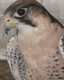 Bond Lanner falcon