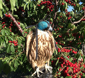 Falcon with cherries
