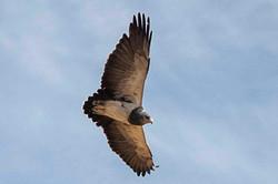Aguila en Valle Mostazal