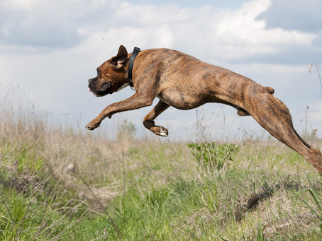 Cruciate disease in dogs