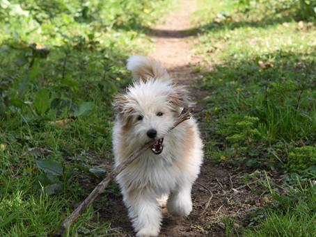 The dangers of throwing sticks for your dog