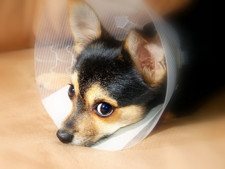How to care for your pet after surgery.
