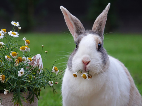 What to feed your rabbit