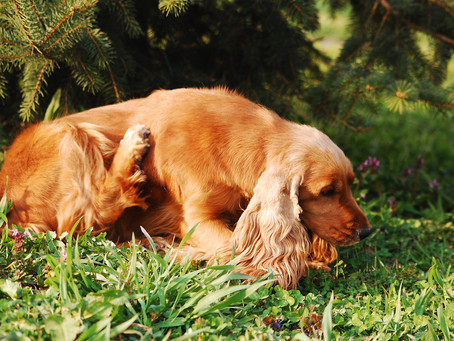 How to tell if your pet has fleas.