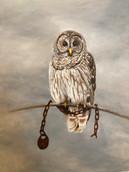 Barred Owl_Ode to Harriet Tubman.JPG
