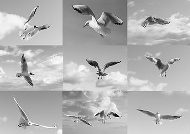 black headed gulls coming and going