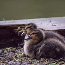 ducklings after a swim