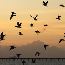 black headed gulls in the evening_