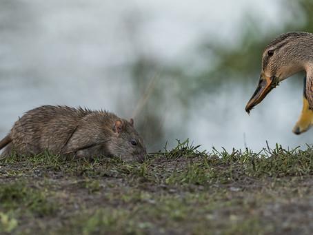 Rats and Mud